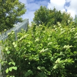 Japanese Knotweed Removal in Haringey