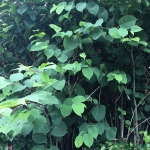 Removal of Japanese Knotweed in Staveley
