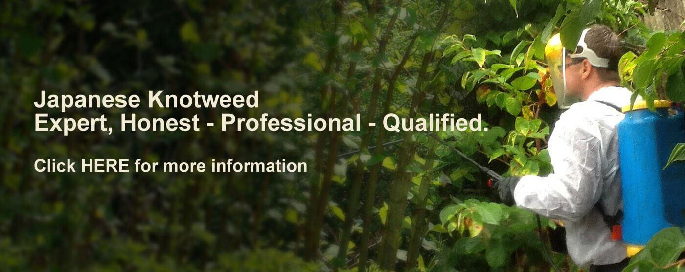 kensington-chelsea-knotweed