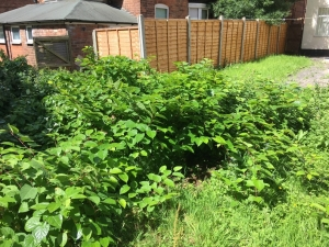 Japanese Knotweed Removal in East Sussex