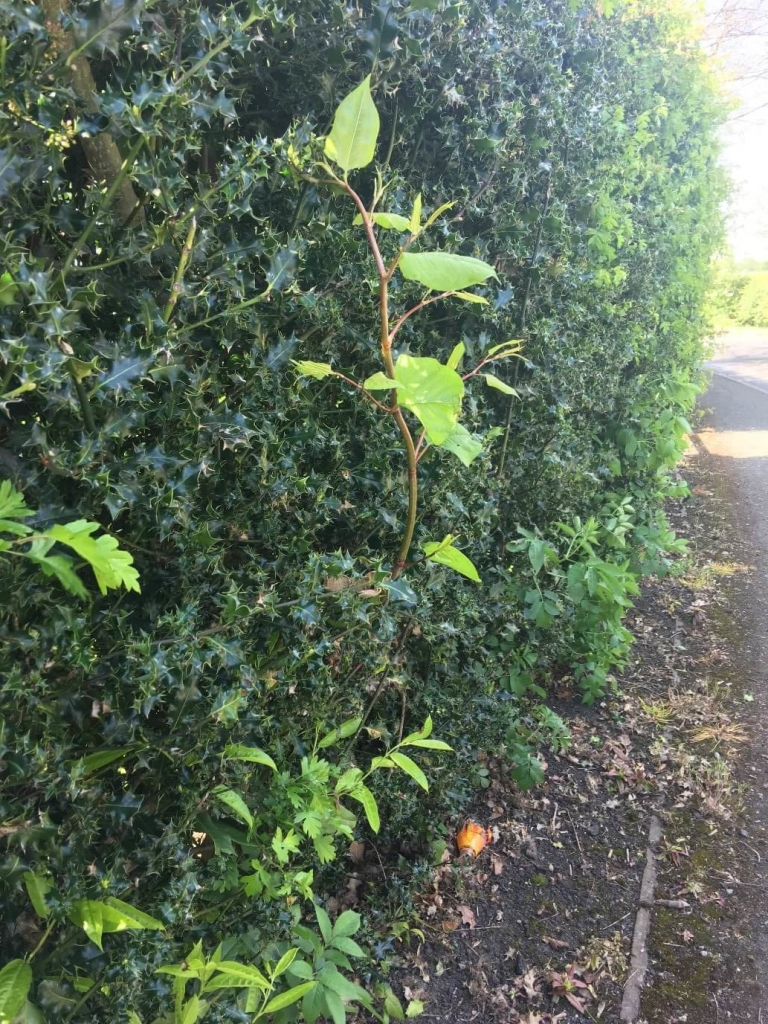 Japanese Knotweed in Cumbria