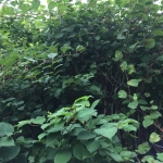 Japanese Knotweed in Lambeth