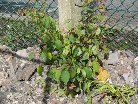 Removal of Japanese Knotweed in Bristol