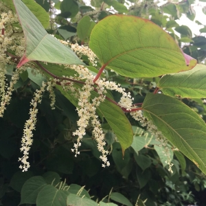 Japanese Knotweed in Buckinghamshire - Japanese Knotweed in flower