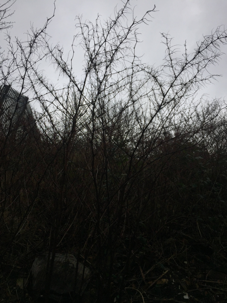 Japanese Knotweed in Greater Manchester
