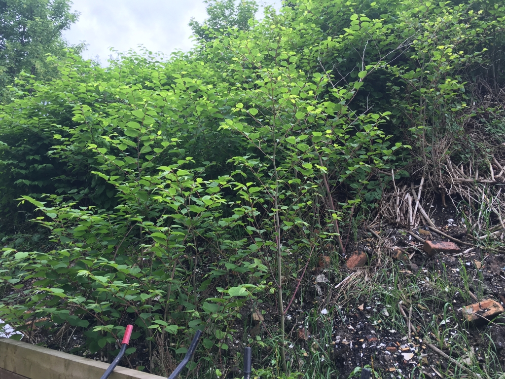 Japanese Knoweed removal in Enfield