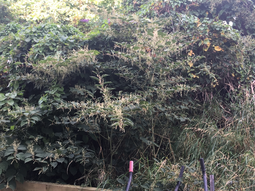 Japanese Knotweed in Tyne & Wear