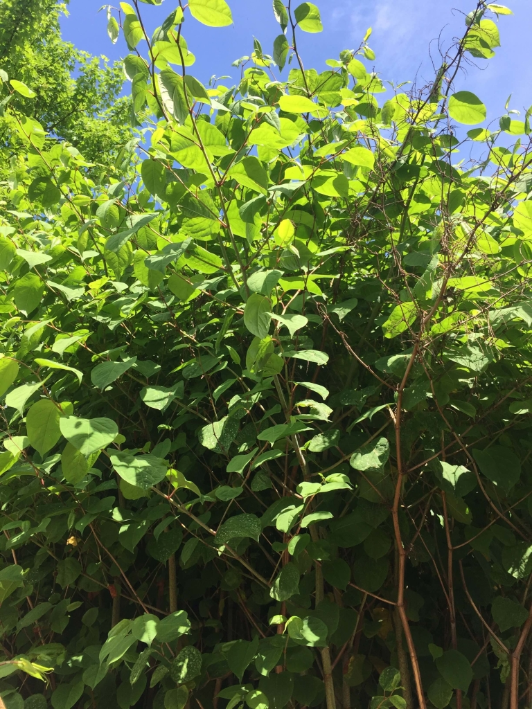 Removal of Japanese Knotweed in Hertfordshire