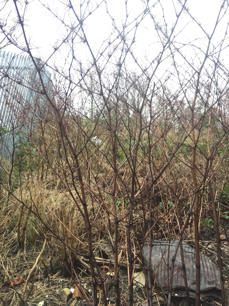 Removal of Japanese Knotweed in Kent - Treatment in Process