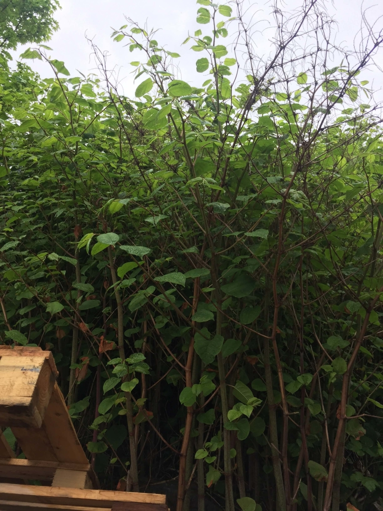Removal of Japanese Knotweed in Melbourne