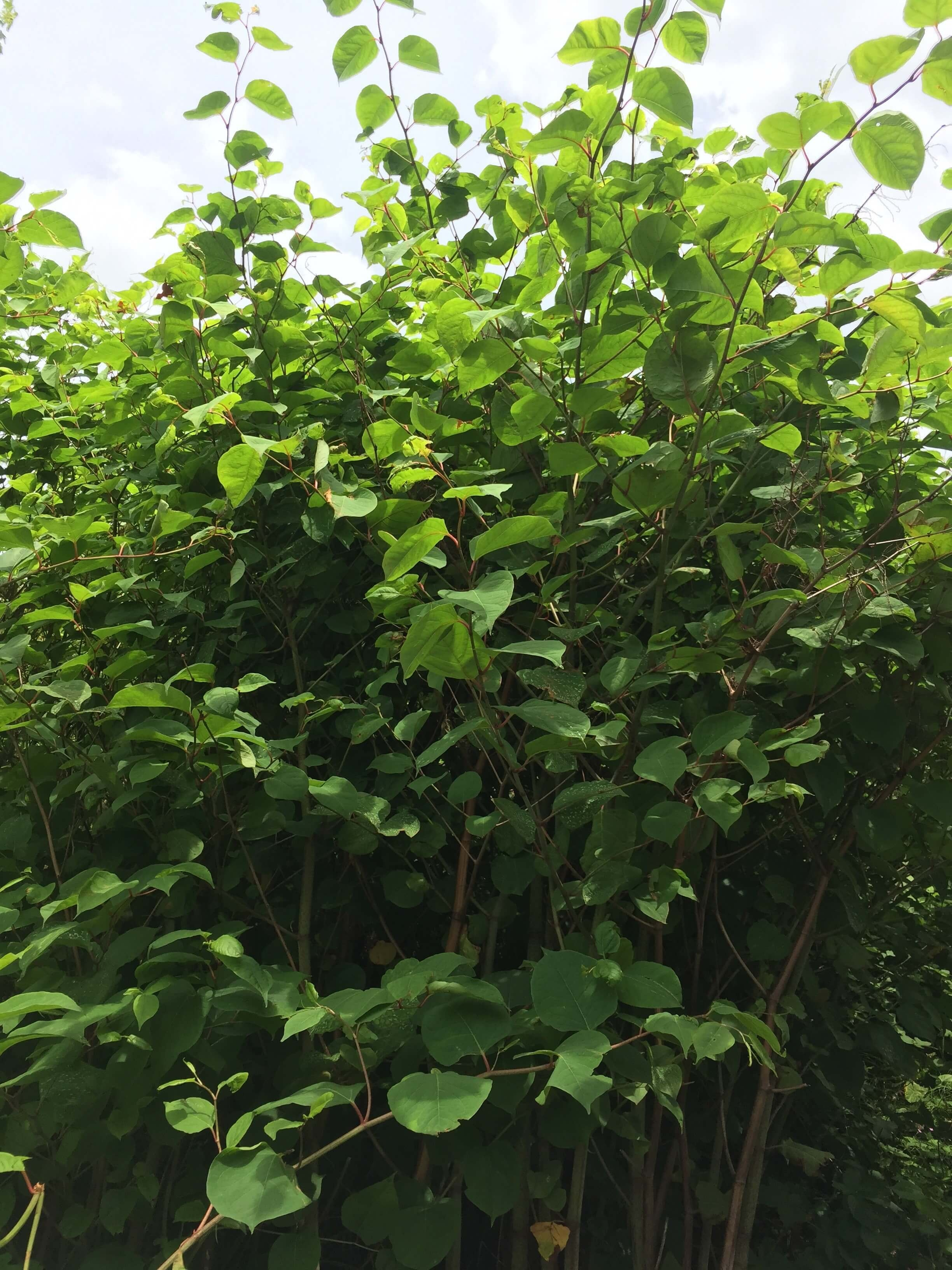 Japanese Knotweed Removal in Langley Mill