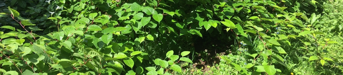 Japanese Knotweed Legal Cases