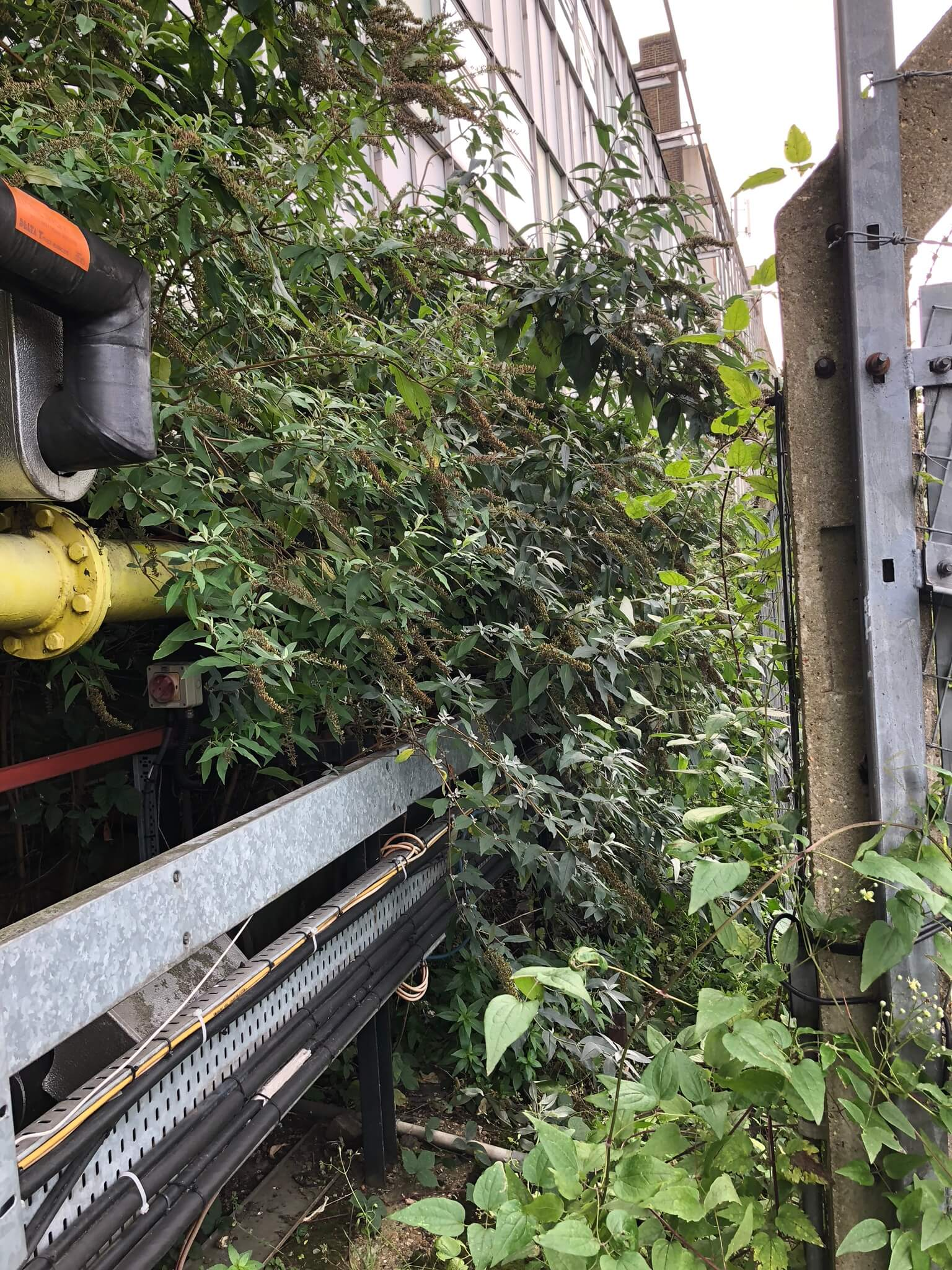 Buddleia misidentified for suspected Japanese Knotweed in London