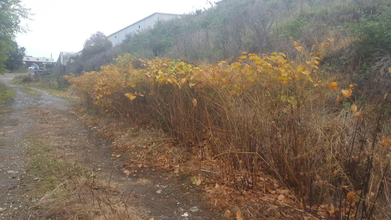 Eradication of Japanese Knotweed by Herbicide Treatment