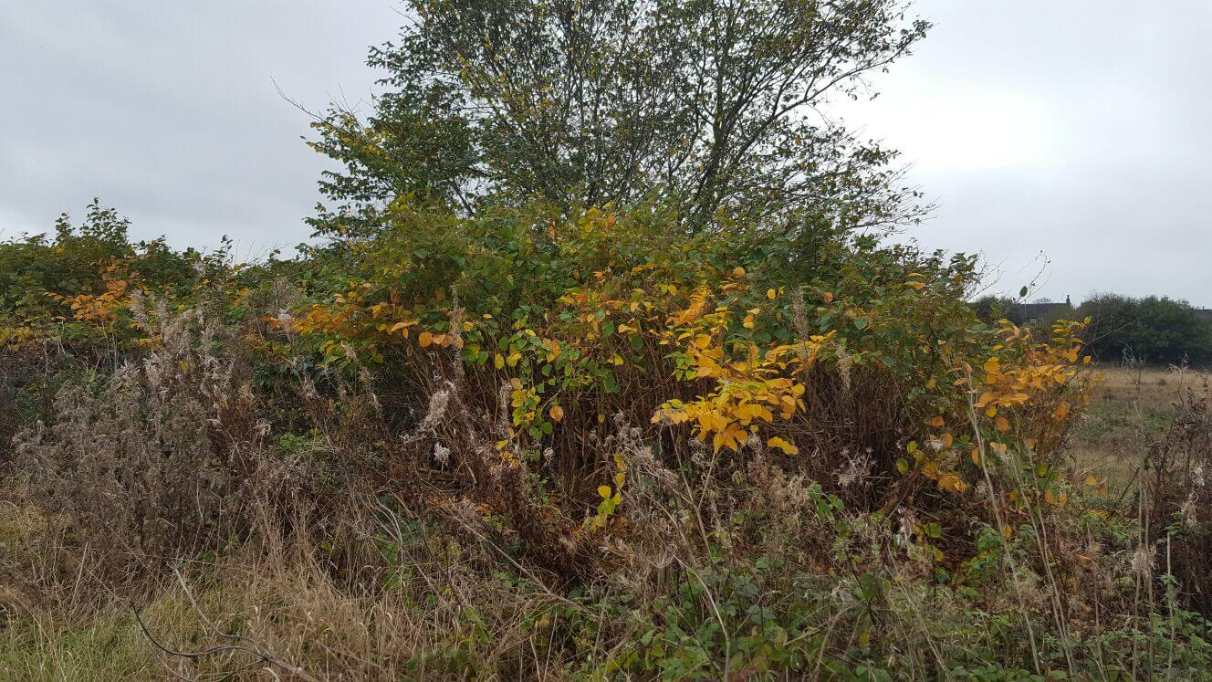 Eradication and removal of Japanese knotweed in Stoke-on-Trent from a Staffordshire based industrial site