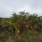 Removal of Japanese Knotweed in Stoke-on-Trent - Industrial Site