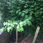 Japanese Knotweed Eradication in Nottinghamshire