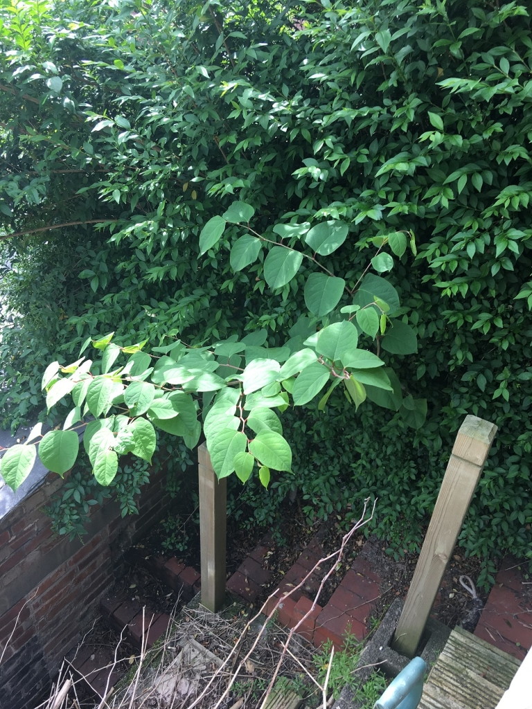JAPANESE KNOTWEED IN SOUTHAM