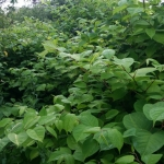 Removing Japanese Knotweed