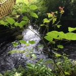 Japanese Knotweed Eradication in Hednesford