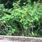 Removal of Japanese Knotweed in Great Wyrley