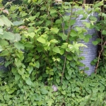 Getting Rid of Japanese Knotweed in Longton