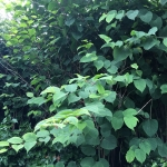 Japanese Knotweed Removal in Leicester