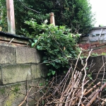 Eradication of Japanese Knotweed in Lutterworth