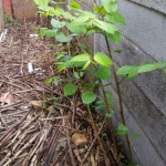 Eradicating Japanese Knotweed in Earl Shilton