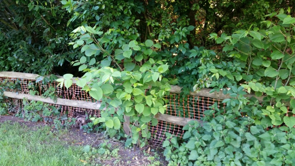 Removal of Japanese Knotweed in Market Bosworth