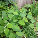 Japanese Knotweed Eradication in Melton Mowbray