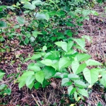 Eradication of Japanese Knotweed in Bridgnorth