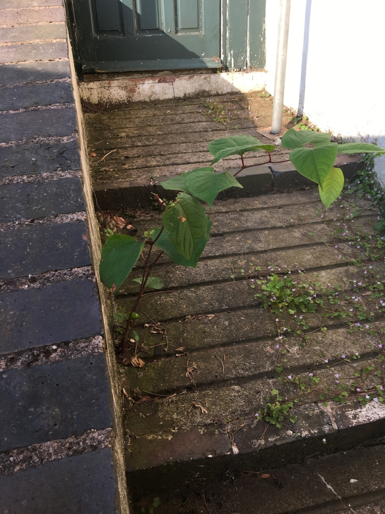 Japanese Knotweed Eradication in Newport - Japanese knotweed growing through a path