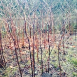 Japanese Knotweed Eradication in Wellington - Japanese Knotweed Dying Back