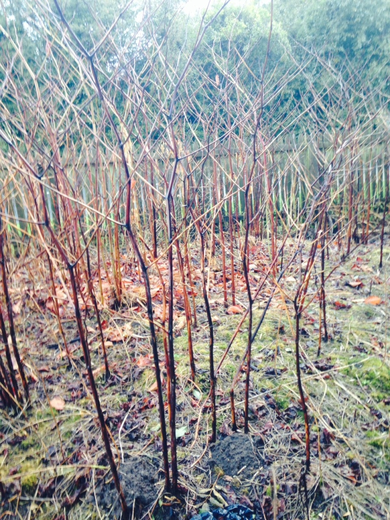 Japanese Knotweed Eradication in Wellington - Herbicide Treatment