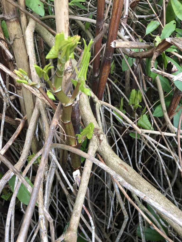 Removal of Japanese Knotweed in Oakengates - New Growth of Japanese knotweed