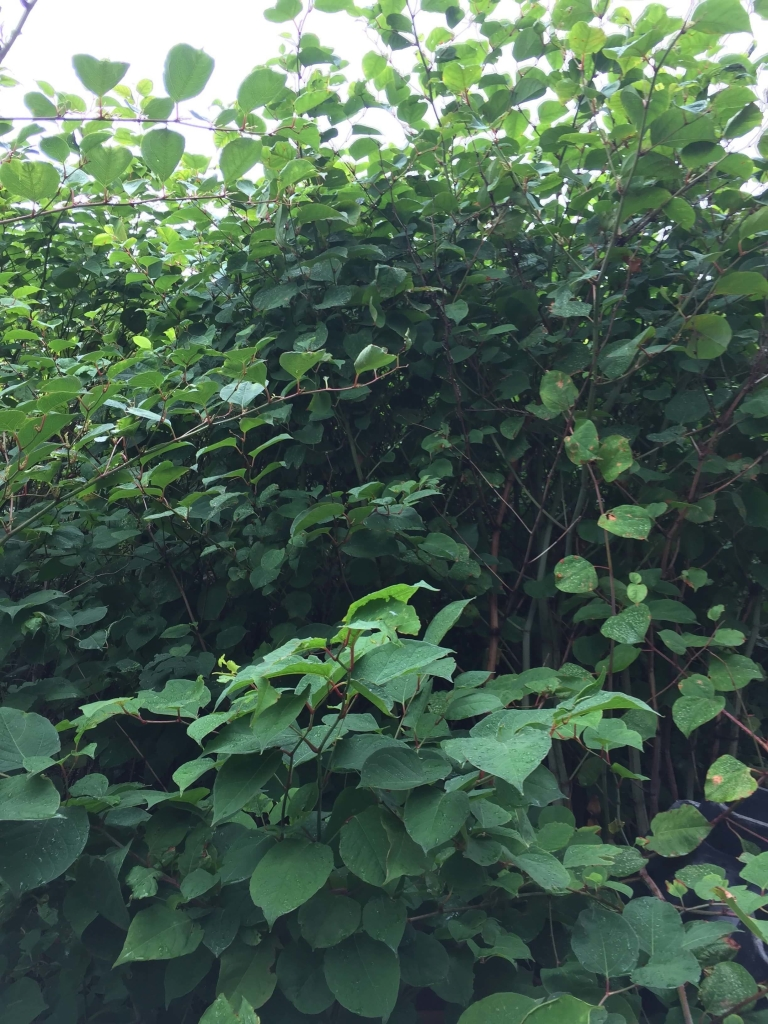 Eradicating Japanese Knotweed in Church Stretton