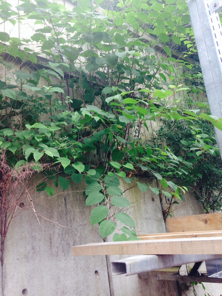 Japanese Knotweed Removal in Cleobury Mortimer - Japanese Knotweed growing through a concrete wall