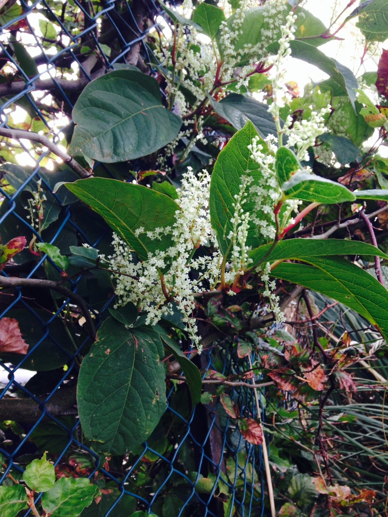 Eradicating Japanese Knotweed in Much Wenlock