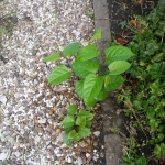 Getting Rid of Japanese Knotweed in Oswestry