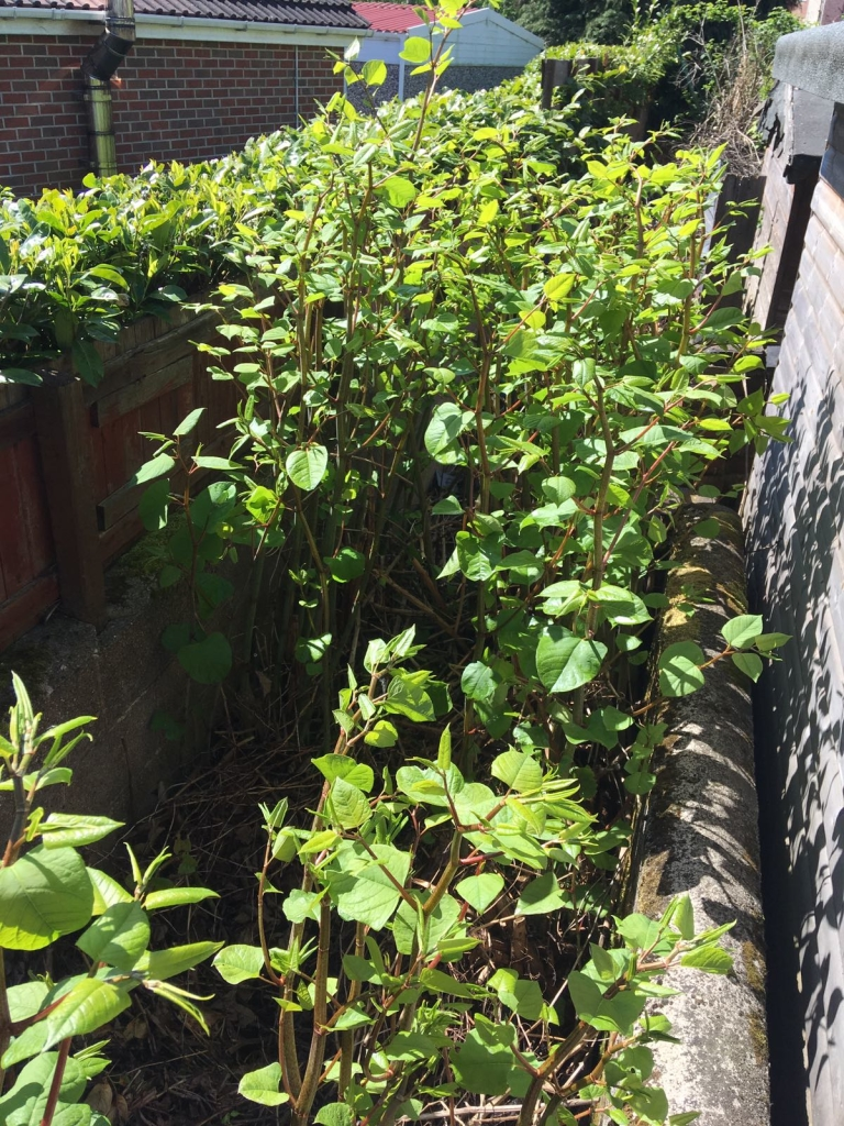 Removal of Japanese Knotweed in Solihull