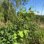 Eradicating Japanese Knotweed in Bloxwich