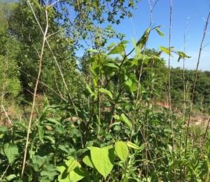 Japanese Knotweed Atherstone