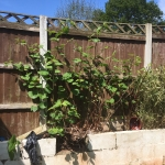 Japanese Knotweed Eradication in Lye