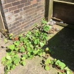 Removal of Japanese Knotweed in Whiston - Growing through concrete