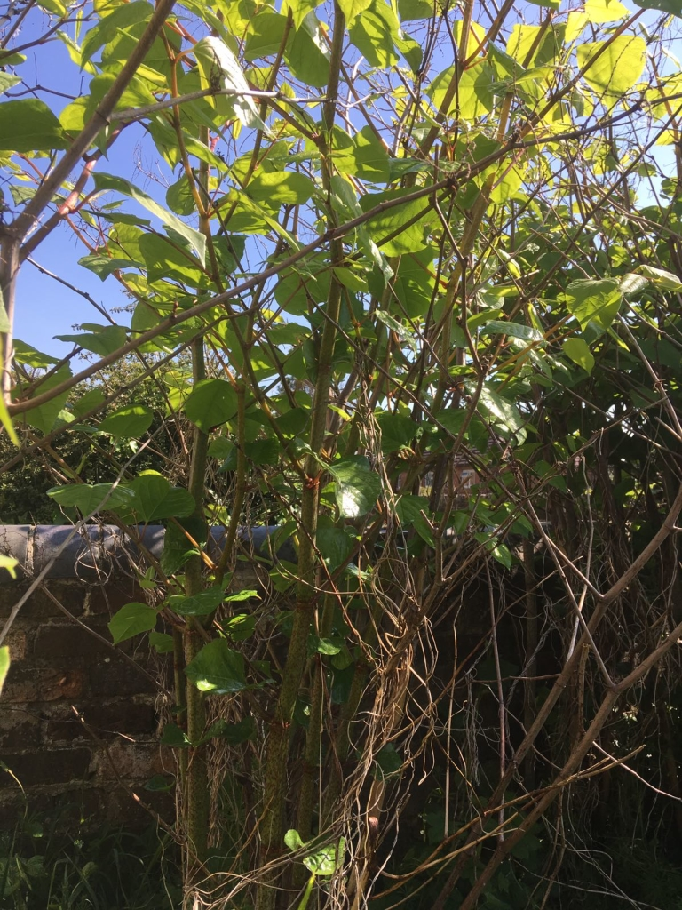 Eradication of Japanese Knotweed in Prescot - Japanese Knotweed Stands