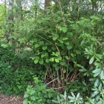 Eradicating Japanese Knotweed in Heswall
