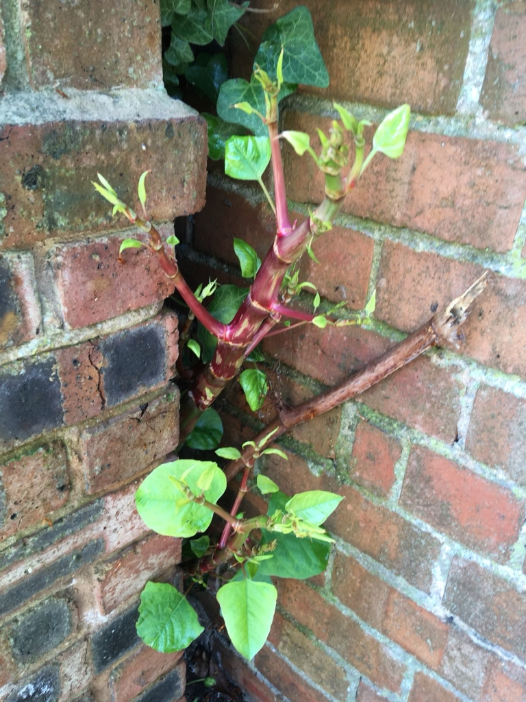 Removal of Japanese Knotweed in Sutton Coldfield