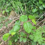 Eradicating Japanese Knotweed in Crosby