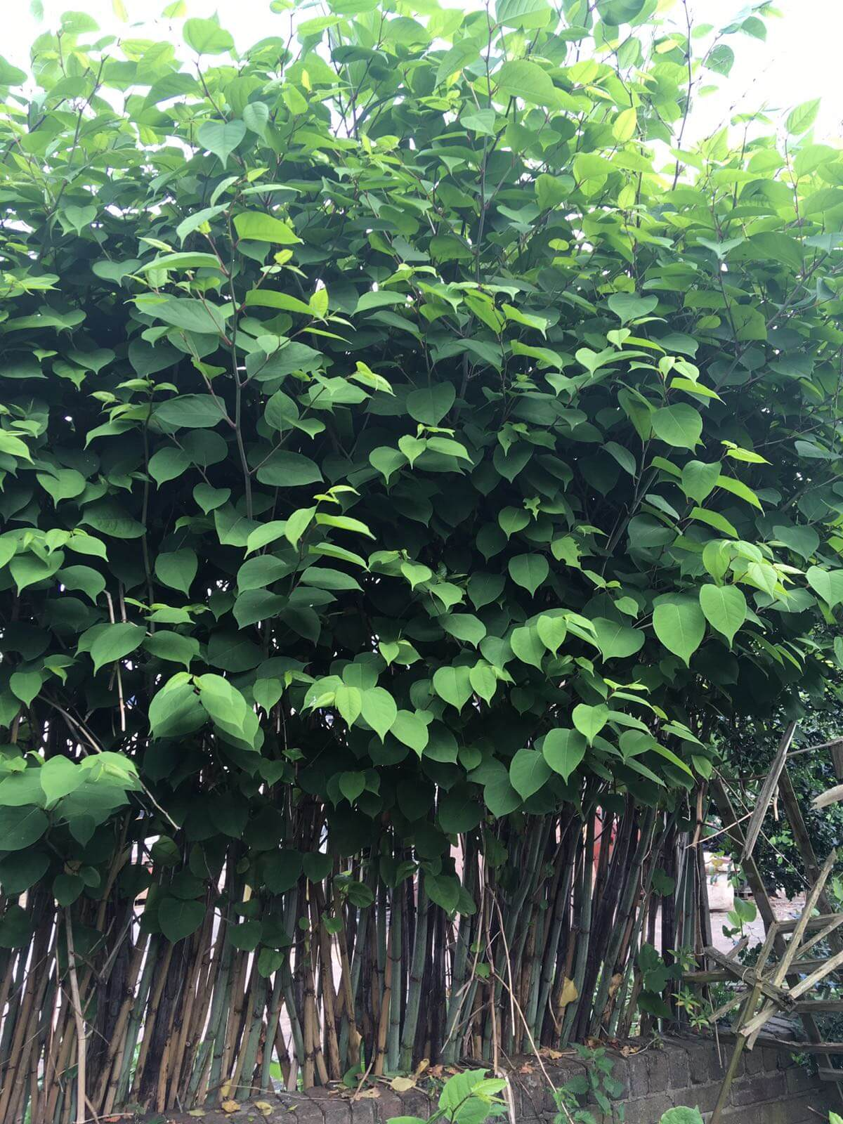 Eradication of Japanese Knotweed in Darlaston